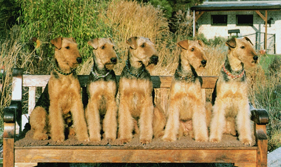 Airedale Terrier